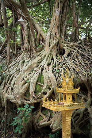 Ancient root system and modern shrine