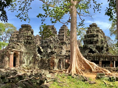 Massive banyan tree consuimg the laterite wall of Banteay Kdei
