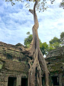 Closuep of the banyan tree's root complex gripping the temple wall and finding purchase in nooks, crannies and holes