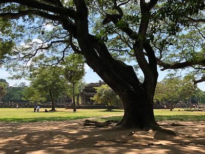 Angkor Tree Closeup