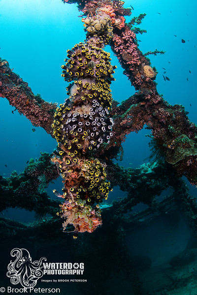 Tunicate Colony on a Rope