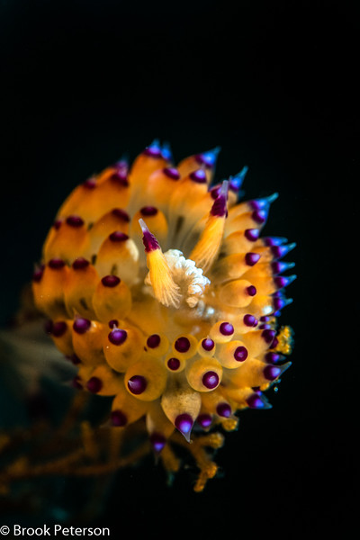 Janolus Nudibranch