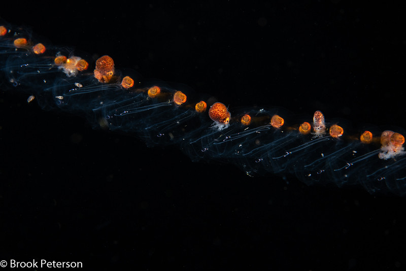 The Salp Chain Train