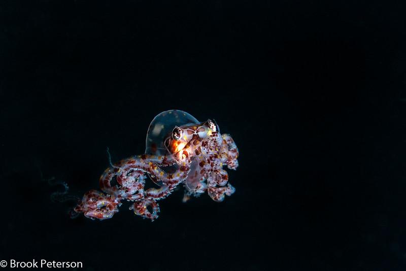 Larval Wonderpus