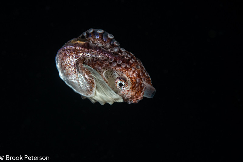 Female Paper Nautilus