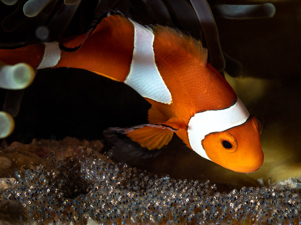 Clownfish Eyes