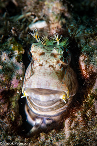 Jeweled Blenny