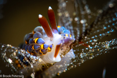 Cuthona ornata Nudibranch
