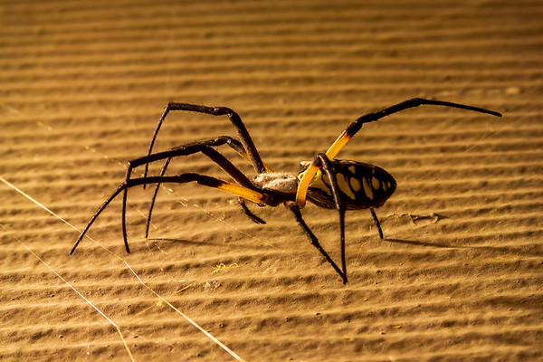Black and Yellow Argiope (Orb-weaver)