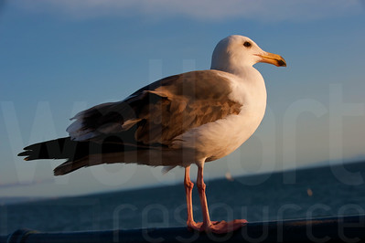 Sea Gulls Standing 002 | Wall Art Resource