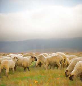 Grazing Sheep 001 | Wall Art Resource