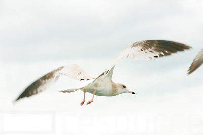 Sea Gulls In Flight 006 | Wall Art Resource