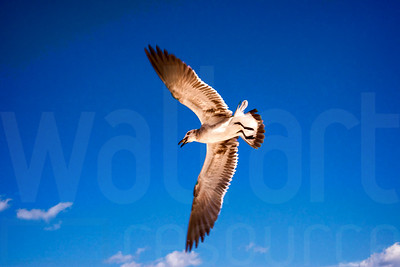 Sea Gulls In Flight 010 | Wall Art Resource
