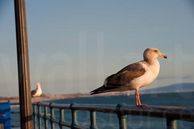 Sea Gulls Standing 001 | Wall Art Resource