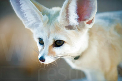 Fennec Fox | Wall Art Resource