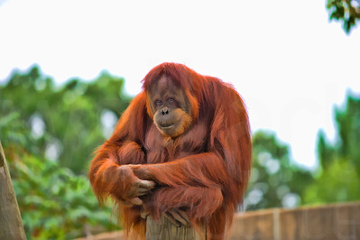 Orangutan Sitting On A Post | Wall Art Resource