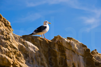 Sea Gulls Standing 003 | Wall Art Resource