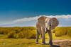 Sniffing elephant