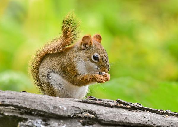 """<div class=""""jaDesc""""> <h4> Red Squirrel Eating Sunflower Seed - July 17, 2018</h4> <p></p> </div>"""