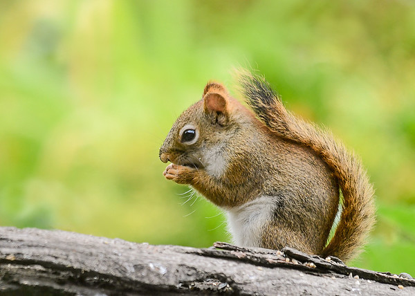 """<div class=""""jaDesc""""> <h4> Red Squirrel Flipped Around - July 17, 2018</h4> <p></p> </div>"""