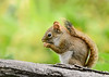 "<div class=""jaDesc""> <h4> Red Squirrel Flipped Around - July 17, 2018</h4> <p></p> </div>"