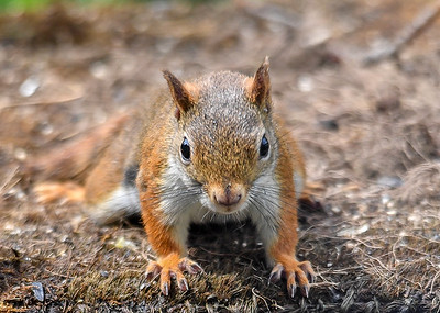 Red Squirrel Staring at Me - July 17, 2018