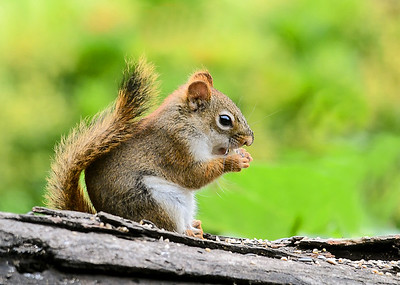 Red Squirrel Selects Another Peanut - July 17, 2018