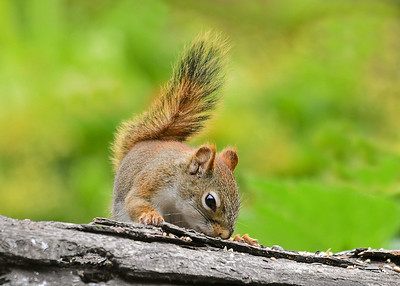 Red Squirrel Sniffing for the Best Seed - July 17, 2018