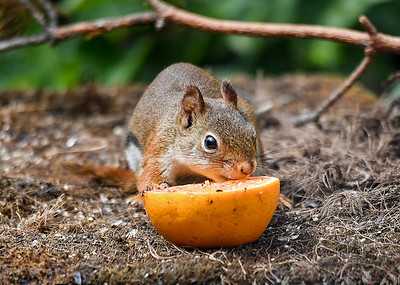 Red Squirrel Licking Orange - July 17, 2018