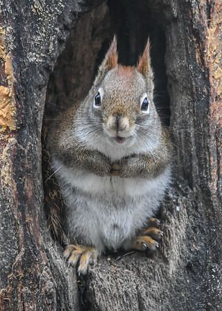 """<div class=""""jaDesc""""> <h4>Red Squirrel Relaxed Chewing Peanut - January 7, 2019 </h4> </div>"""