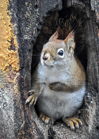 """<div class=""""jaDesc""""> <h4>Red Squirrel in Tree Trunk - January 7, 2019 </h4>One paw tucked, one used for balance. </div>"""