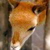 baby alpaca related animal