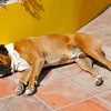 Dog Taking it Easy at Hotel In Ica, peru