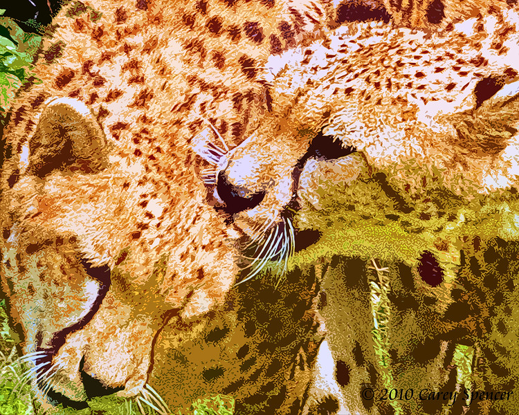 Cheetahs in Love