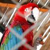 Caged Bird Ica Peru