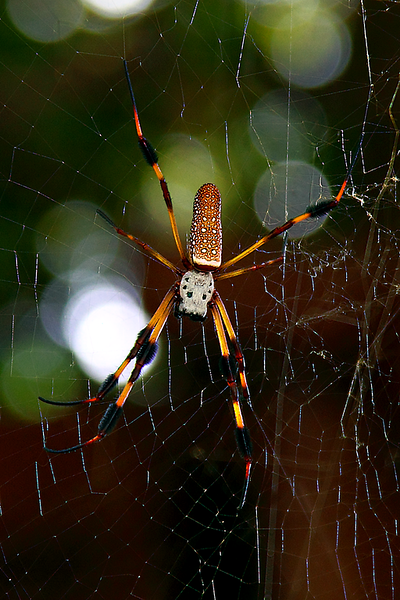 Golden Silk Spider- Nephila clavipes also known as Banana Spider