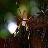 Golden Silk Spider- Nephila clavipes also known as Banana Spider