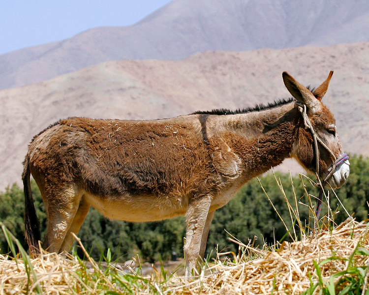 Donkey in Peru Andes Foothills