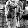 White Tiger Montgomery Zoo