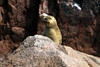 """Southern Sea Lion - this species belongs to the (Otariidae) family - the """"eared seals"""" - as distinguished from the """"true seals"""" or """"crawling seals"""" (Phocidae) family, which do not have a exterior ear flap."""