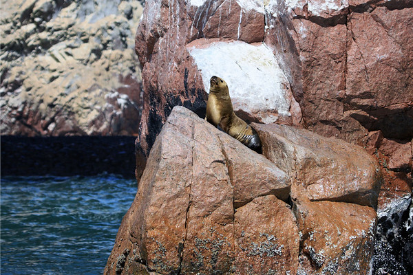Southern Sea Lion cow - above the Pacific water, on a barnacle encrusted boulder - with guano coasted boulders beyond - Ballestas Islands.