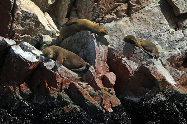 Sea Lion cows - sunning upon the rock shoreline just above the mussels and alage - Islas Ballestas.