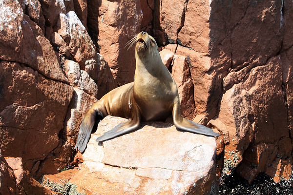 Southern Sea Lion cow - letting out a growl in the mid-morning sunlight, and revealing its lower canine teeth - Islas Ballestas.