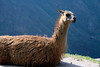 Llama along the upper farming terrace at Machu Picchu - with the forested slope of the Urubamba Range beyond.