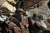 Southern Sea Lions - basking upon the steep and rocky shoreline of Islas Ballestas - Paracas National Reserve.