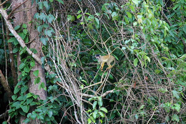Black-capped Squirrel Monkey (Saimiri boliviensis peruviensis) - both a frugivore and insectivore, spending around 75% of their day foraging in the canopy - they are small (weighing up to about 2.2 lbs./1 kg) -  this specimen in  the Manu National Reserve - Madre de Dios department.