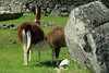 Nursing Llama - among the lichen clustered intrusive igneous granite outcrop - with the Inca culture stone masonry of the Machu Picchu complex in the background.