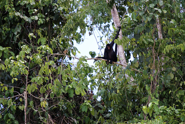 Peruvian Spider Monkey (Ateles chamek) - here in the Southwest Amazon Moist Forest ecoregion  - located in the southeastern Amazonia Peru area, the upper Amazon Basin, at elevations ranging from 1000 ft. (305 m) in the west to about 300 ft. (91 m) in the east. This specimen in the Manu National Reserve - Madre de Dios department.