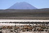 Vicuñas - under the high-noon sunlight, grazing among the tussock grass in the Pampa Cañahuas, located in the Central Andean Puna ecoregion - with Volcan Misti peaking beyond at around 19,101 ft. (5,822) - Salinas and Aguada Blanca National Reserve.