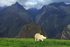 Grazing Llama upon the upper agricultural terrace at the Machu Picchu complex - to the summit of Cerro Putukusi (l), peaking about 8,400 ft. (2,560 m), directly behind - the northeastern slope of the Machu Picchu Mountain (r) - and beyond along the horizon and among the clouds to the Urubamba Range - Cusco department.